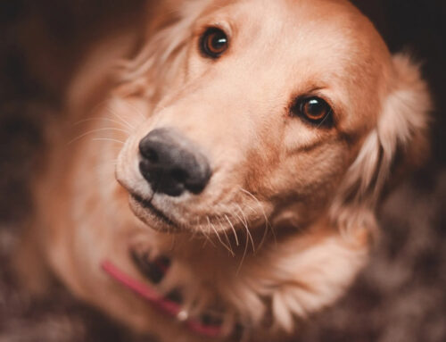 """""""Allergies"""", Leaky Gut (Dysbiosis), and Your Dog"""
