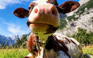 picture of a cow looking at the camera