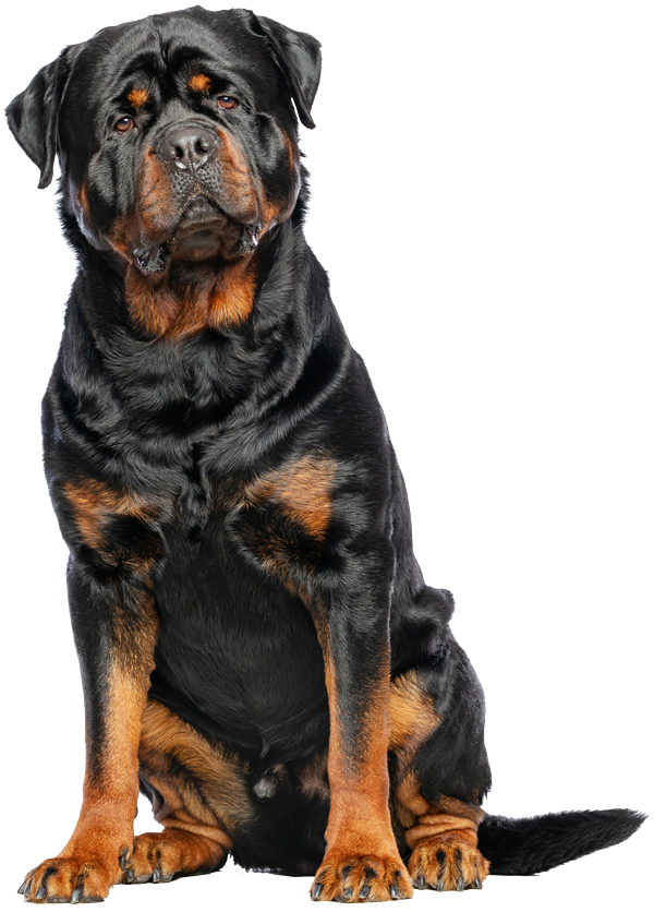 image of a rottweiler